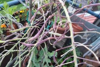 Zahlreiche bohnenähnliche Schoten in grün-rot, ohne Blätter