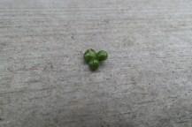 Drei grüne, runde Samenkugeln