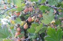 Rötliche, traubenähnliche Beeren an knochigen dünnen Ästen