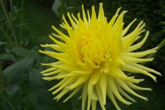 Gelbe Dahlie mit dünnen, eingrollten Blütenblättern, die sich zu einer prachtvollen Blüte zusammenbündeln.