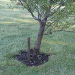 Fruit tree weeding and mulching