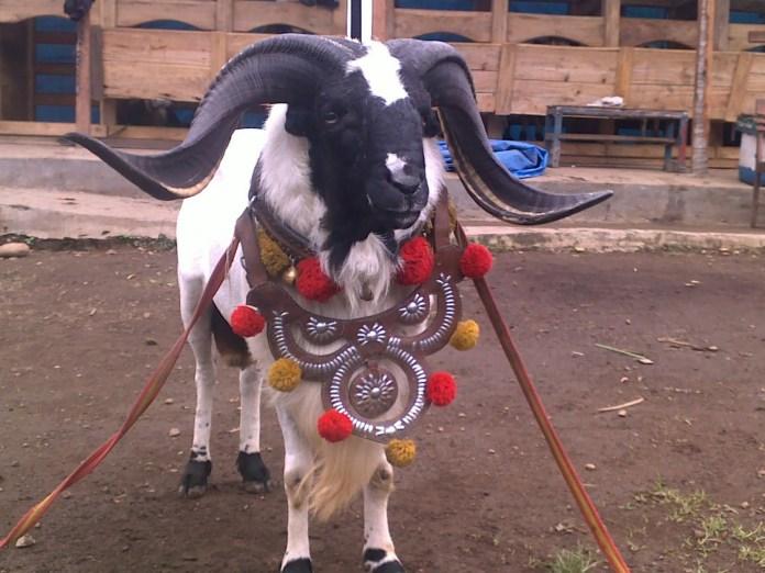 domba garut