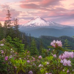 Mount Hood Rhododendrons
