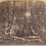 Grizzly Giant - Carleton Watkins