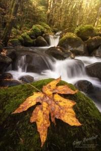 Maple Leaf in Boulder Creek