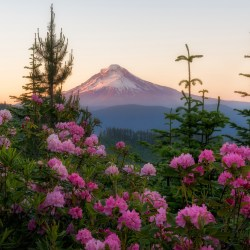 Mount Hood and Rhododendrons