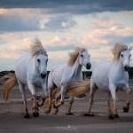 Chevaux horses