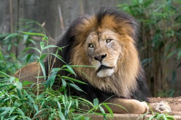 In your own way, be a lion   Smithsonian's National Zoo