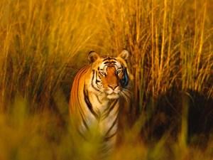 Bengal tiger conservation