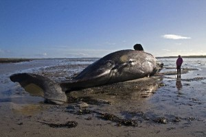 whale beached caused by prion disease