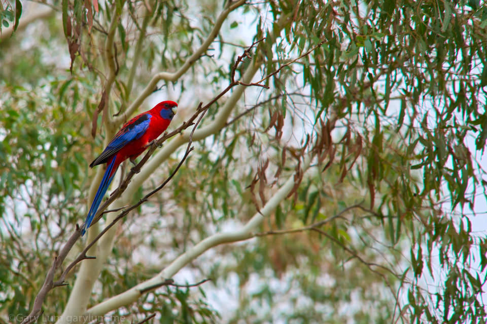 Is this a Rosella on Lake Ginninderra Easter Saturday Gary Lum