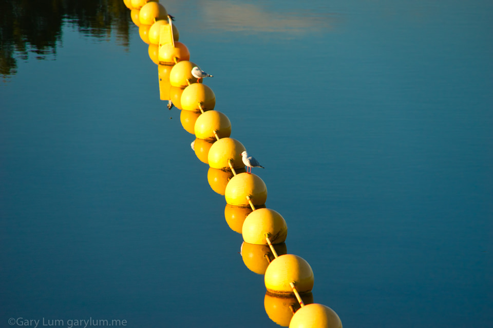 Yellow buoys and seagulls on Lake Ginninderra Reflections Gary Lum