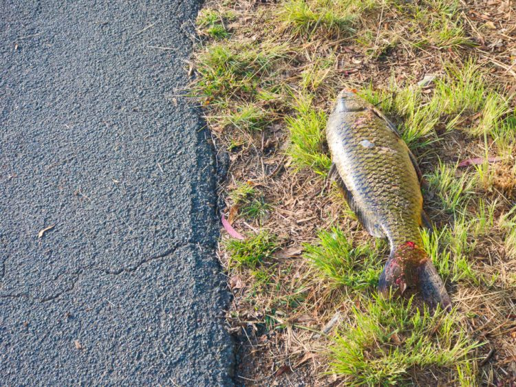 A fish out of water, carp by Lake Ginninderra Gary Lum