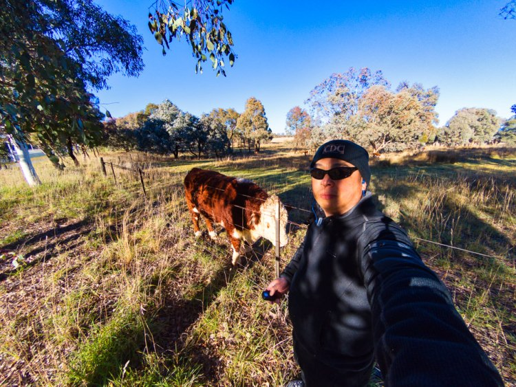 A selfie with a Lake Ginninderra cow Gary Lum