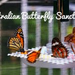 Butterflies at the Australian Butterfly Sanctuary