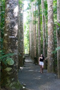 Ms20 in the Queensland Kauri Pine grove