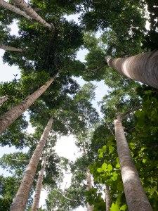 Queensland Kauri Pine trees