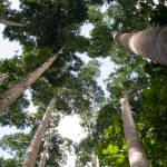 Queensland Kauri Pine trees