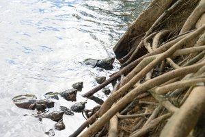 Turtles at Paronella Park