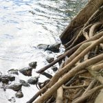 Turtles at Paronella Park