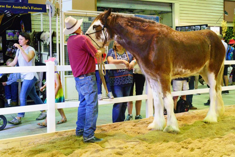 Clydesdale at The Ekka 2017 Gary Lum