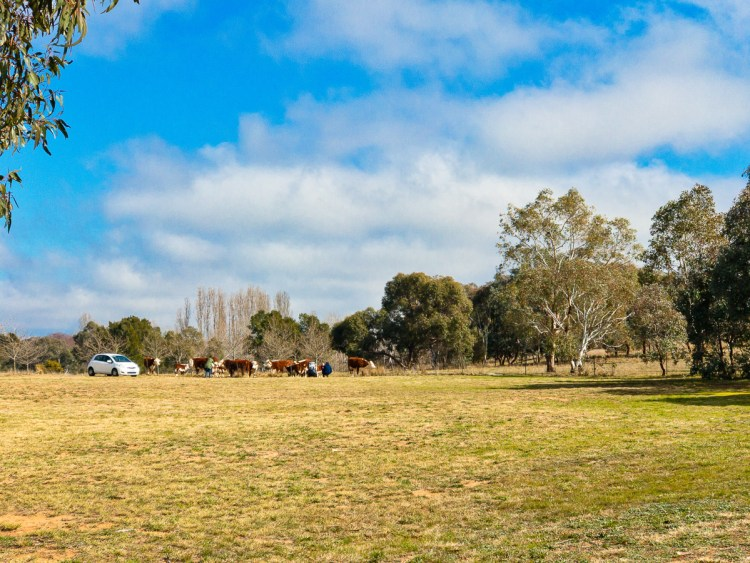 Cows on Lake Ginninderra attracted to visitors Gary Lum