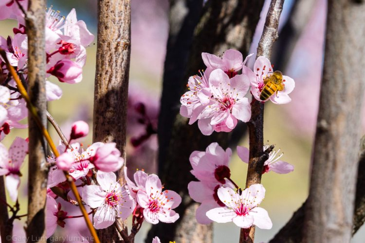 Blossoms and a bee on Lake Ginninderra Gary Lum