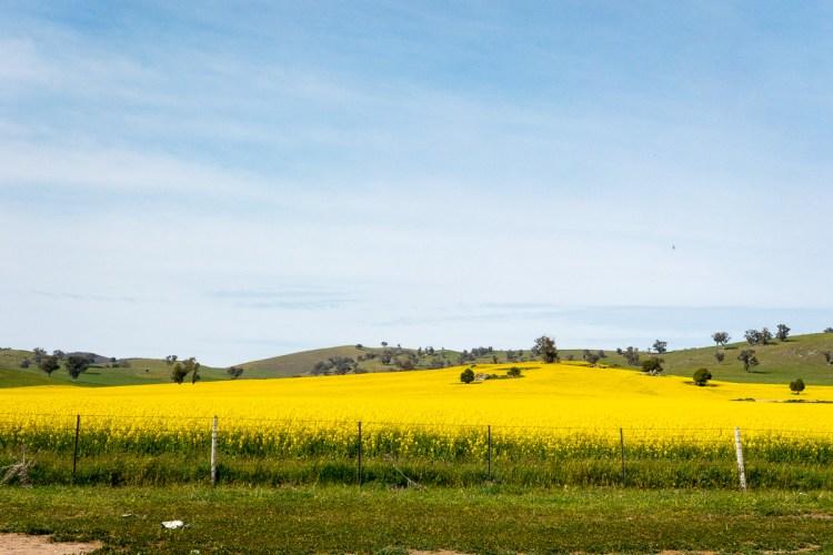 Field of yellow canola flowers where I got a speeding ticket Gary Lum
