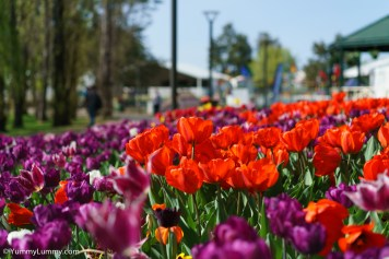 The flowers of Floriade are beautiful. | SONY ILCE-7S with FE 55mm F1.8 ZA at 55mm and f/2.8, 1/8000sec, ISO 400