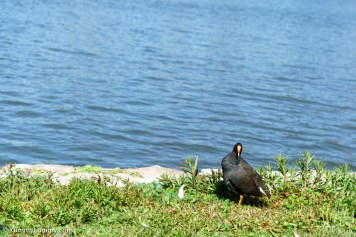Water hen on Nerang Pool | SONY ILCE-7S with FE 55mm F1.8 ZA at 55mm and f/4, 1/4000sec, ISO 400