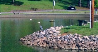 Relocated across the pond, the heron feels safe once more.