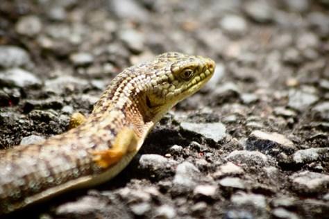 Portrait of an alligator lizard
