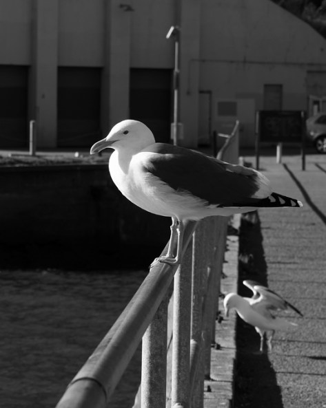 Gull at the Fort Baker fishing pier--black and white