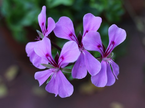 Geranium up close