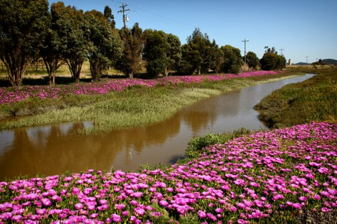 Ice plant bloom by dump