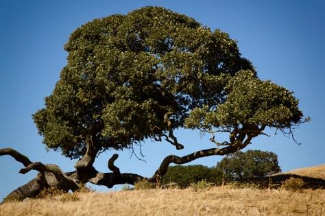 California live oak laying down