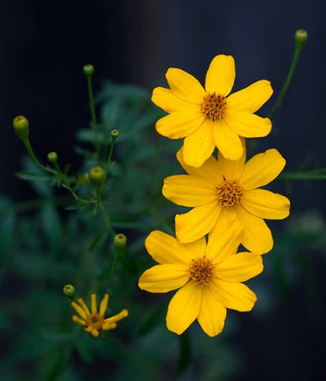 Mexican bush marigold blooms in November