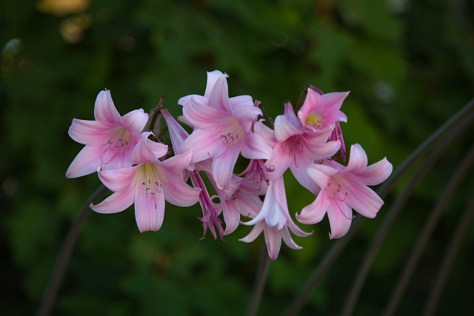 Naked Ladies (amaryllis) 3