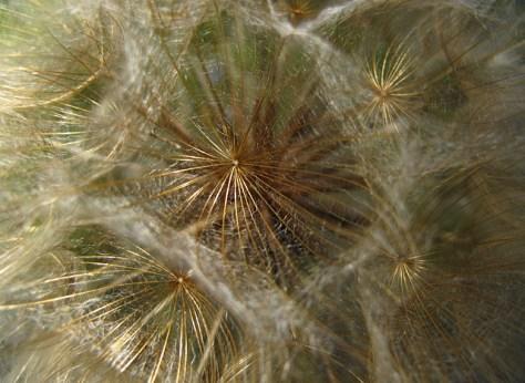 Salsify seed pod close up