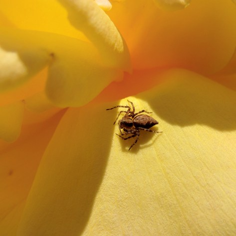 Spider on yellow rose