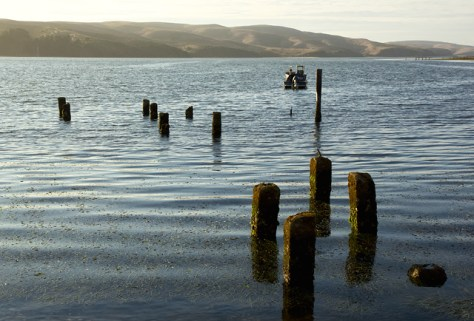 Old pilings in Tomales Bay