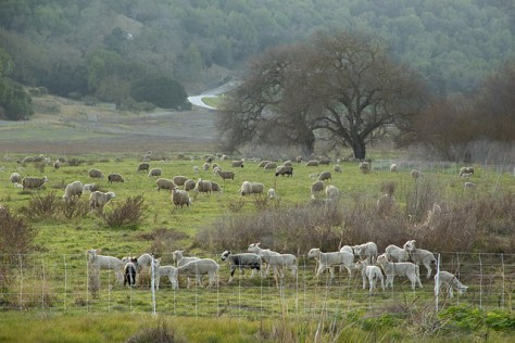 Sheep and lambs in pasture