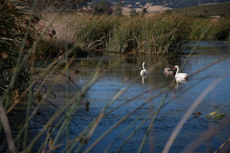 Petaluma wastewater settling ponds are home to ducks and swans