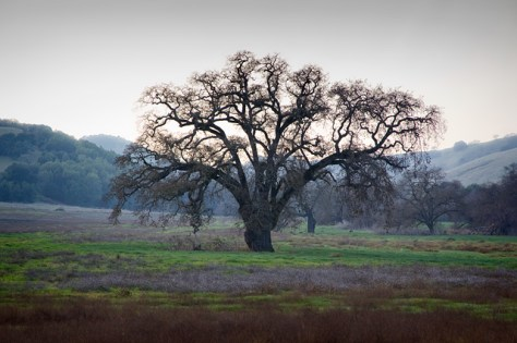Large oak tree in a field