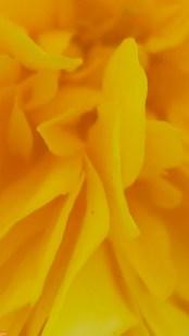 Fiore di kerria japonica