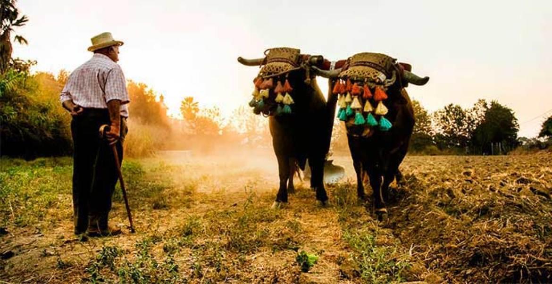 Bueyes en el campo trabajando Carne de buey Grupo Sagardi