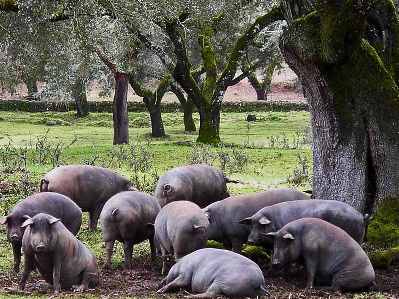Cerdos Dehesa Jamones Joselito
