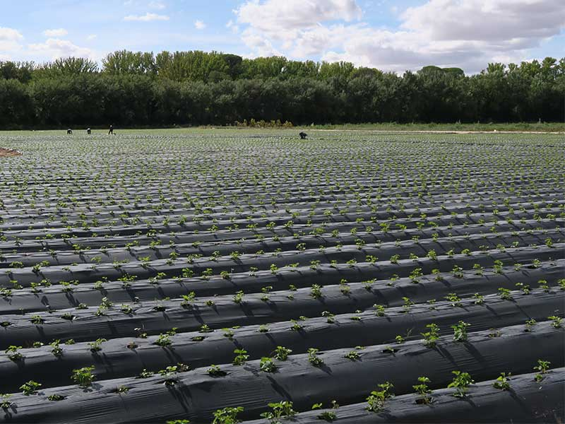 Fruterias la Huerta de Aranjuez plantacion de fresones