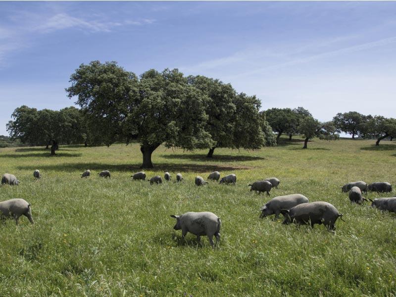Dehesa de cerdo iberico