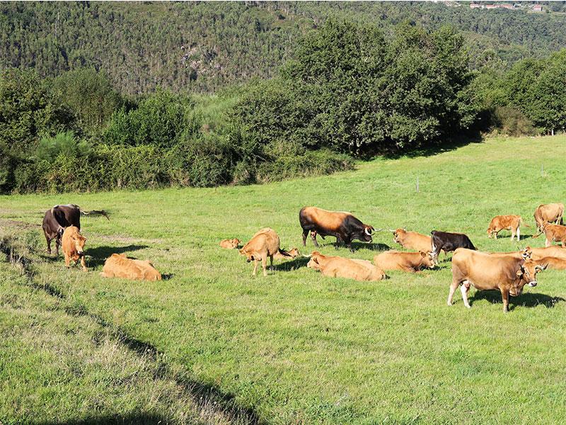 productos ecológicos de Galicia CRAEGA Ganaderia Isidro Peleteiro Garcia